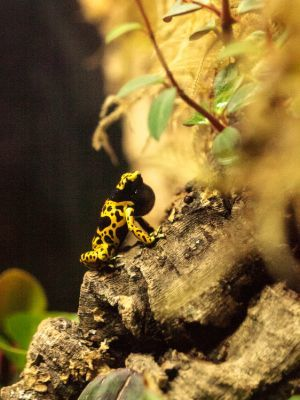 Bumblebee Poison Dart Frog (Dendrobates leucomelas)