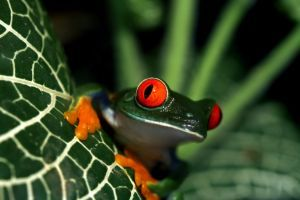 Close up of red eyed tree frogs eyes