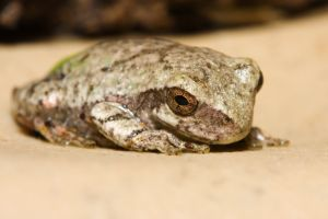 Cope's Gray Tree Frog (Hyla Chrysoscelis)