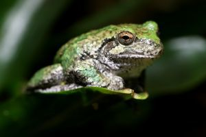 Gray Tree Frog (Hyla chrysoscelis)