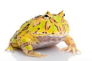 Green Fantasy Horned Frog