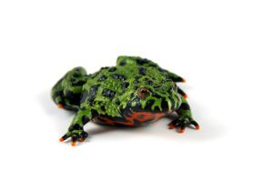 Green Fire Bellied Toad laying flat on white background