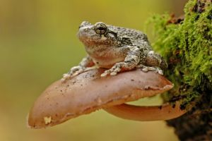 Grey tree frog (hyla-versicolor) perched on mushroom