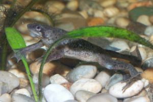 Male African Dwarf Frog Swimming
