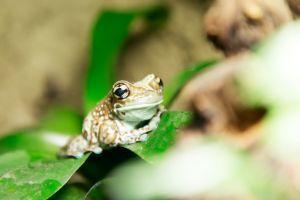 Mission Golden-eyed Tree Frog (Trachycephalus resinifictrix) on leaf