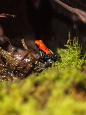 Red Backed Poison Dart Frog (Ranitomeya Reticulata)