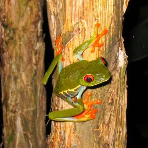 Red Eyed Tree Frog on tree