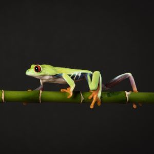 Red Eyed Tree Frog walking on branch