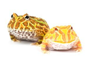 Regular And Albino Horned Frogs