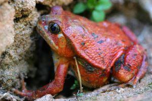 Tomato Frog (Dyscophus)