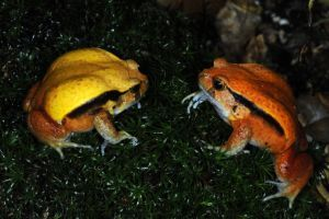 Two tomato frogs in their habitat