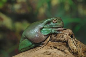 Whites Dumpy tree frog on a branch