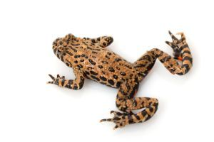 brown-fire-bellied-toad on white background